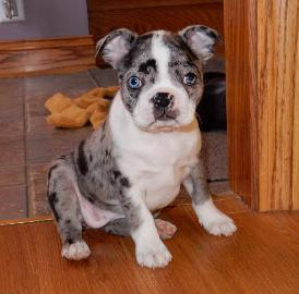 Splash Boston Terrier, Tri Color Boston Terrier, Merle