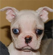 boston terrier colors explained mismarks and blue eyes