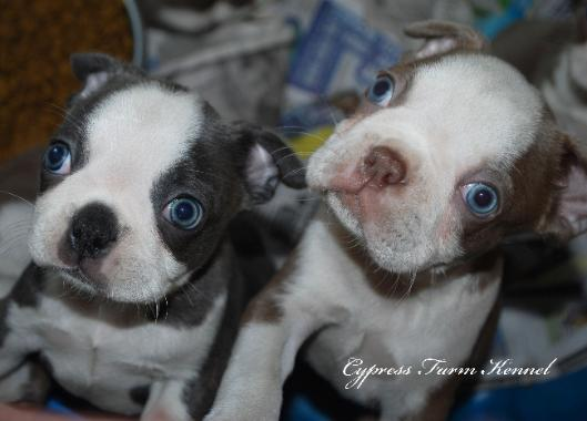 Litter Of Blue White And Lilac Boston Terrier Puppies Left To Right