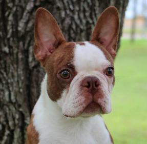 Red Boston Terriers - Goldenacresdogs com